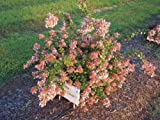 ABELIA 'CANYON CREEK' - FRAGRANT - STARTER PLANT