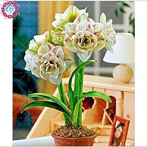 100pcs / bag semillas verdaderas Amaryllis no las semillas de los bulbos de flores, semillas de Bonsai Hippeastrum para el hogar y jardín Semillas de marihuana Barbados flor del lirio 7