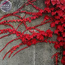 New Heirloom Imported Red Ivy Climbing Plant Seeds, Professional Pack, 10+ Seeds