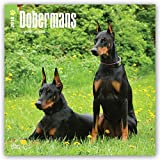 Dobermans 2018 12 x 12 Inch Monthly Square Wall Calendar, Animals Dog Breeds (Multilingual Edition)