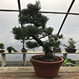 "Cheap Bonsai Outlet – Tokoname Grow Pot for Bonsai Trees – Clay Bonsai Pot Encourages Healthy Bonsai Tree Roots (Medium 6 ¾"" x 3 ¼"")"