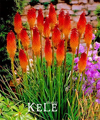 Red Hot Poker Flower - 3