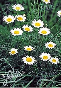 Anthemis tinctoria Alba 1,000 seeds