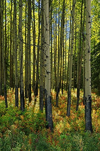 Posterazzi Forest Floor In Autumn Bow Valley Parkway Banff National Park Alberta Poster Print (24 x - Bow Parkway Valley
