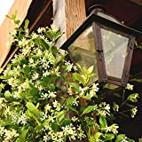 Confederate Jasmine Live Plant, 1 Gallon, Includes