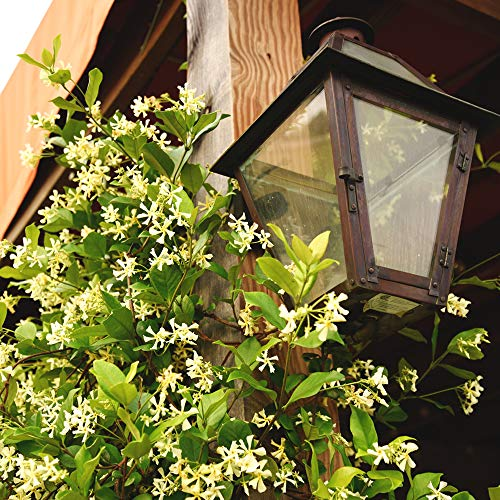 Perfect Plants Confederate Jasmine Live Plant, 1 Gallon, Includes Care Guide by PERFECT PLANTS (Image #3)