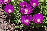 25 Stardust ICE Plant Mesembryanthemum Delosperma Floribunda Purple Flower Seeds