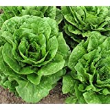 Organic Romain Lettuce (Parris Island) Seeds - 2 SEED PACKETS! - Over 1000 Open Pollinated Non-GMO USDA Organic Seeds