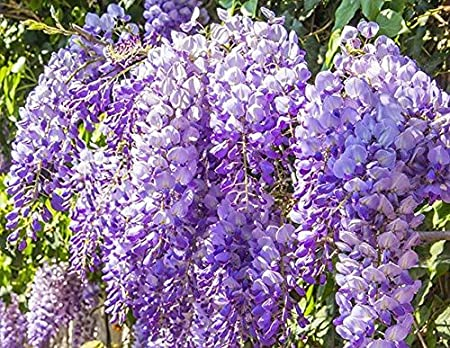 pinkdose wisteria sinensis (1 Plant) Superb shrub, best-loved ...