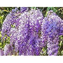 Wisteria sinensis (1 Plant) Superb shrub, best-loved climbing plants