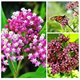 2016fresh harvested Organic Perennial Buy 2 Get One Free Milkweed Seeds for a Butterfly Garden - help save the Monarch butterflies 100+perrenial seeds Fregrant