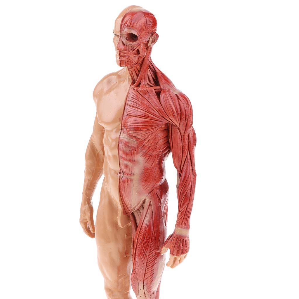 perfeclan 30cm Figura Femenina Masculina Muscular de Media Piel Media Desollado Herramienta de Aprendizaje de Escuela