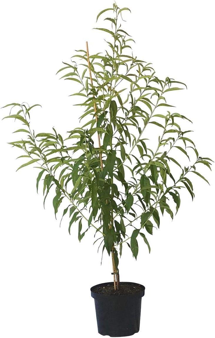frostharter Pfirsich Buschbaum 120-150 cm 10 Liter Topf Prunus pumila M/üllers Gr/üner Garten Shop Pfirsichbaum Wunder von Perm