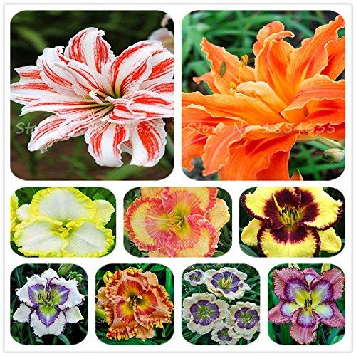 Seeds Shopp 100 Pcs/Bag Fresh Rare Hybrid Daylily MIX Flowers Seeds Hemerocallis Lily Indoor Bonsai Home Garden Supplies
