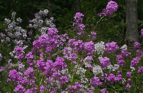 eeds, rose fuchsia colored flowers, PERENNIAL! GroCo ()