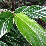 Variegated Strap Leaf Ginger Alpinia Albolineata Vittata Small Plant