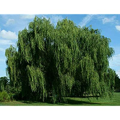 AchmadAnam - Live Plant - Special 10 - Weeping Willow Shade Trees : Garden & Outdoor