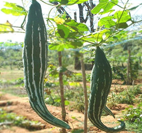 BIG PACK - (50) Snake Gourd Seeds, Trichosanthes cucumerina - Edible Shoots, Leaves, and Tendrils - Non-GMO Seeds by MySeeds.Co (BIG PACK - Snake Gourd)
