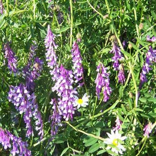 Outsidepride Hairy Vetch Seed - 20 LB