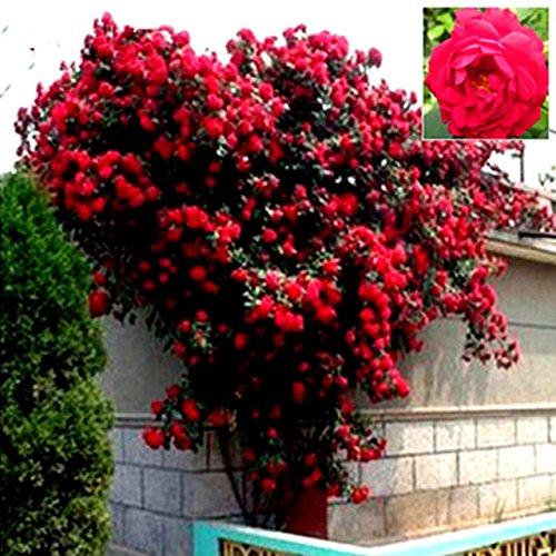 Polyantha Rose - Brand New! Mix Climbing Plant Polyantha Rose Seeds DIY Home Garden Courtyard Pot Flower 20 seeds/pack