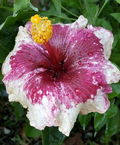 EXOTIC PURPLE MAGIC HIBISCUS WELL ROOTED LIVE STARTER PLANT 4'' TO 7'' TALL by Ma_Plant