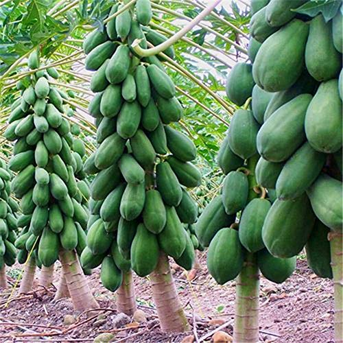 Papaya Seeds Tropical Fruit Tree Seeds Plant Organic Sweet Papaya Seeds 20 Seeds (Best Time To Plant Papaya Seeds)