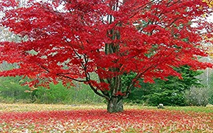 Lawn Garden Plant 5 Free Plants 5 Red Maple Tree ROOTED SEEDLINGS Acer Rubrum