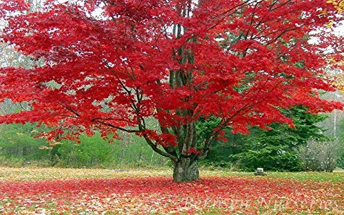 (5 Red Maple Tree Rooted SEEDLINGS Acer Rubrum Lawn Garden Plant #GT01)