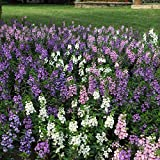 Outsidepride Angelonia Serena Seed Mix - 20 Seeds