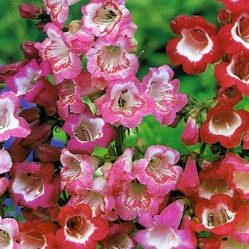 Pack X6 Penstemon 'Mixed Varieties' Perennial Garden Plug Plants South Eastern Horticultural