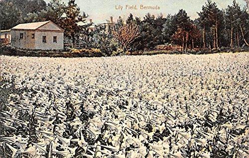 Lily Field Bermuda, Somers Isles Postcard