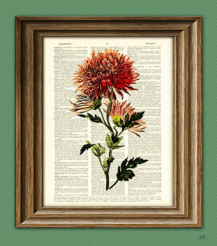- Chrysanthemum mums Flower botanical illustration beautifully upcycled dictionary page book art print