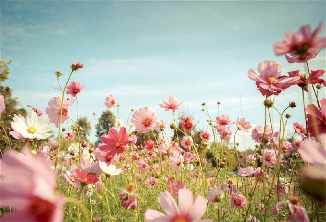 CSFOTO 8x6ft Background Cosmos Flower Blossom in Garden Photography  Backdrop Pink Blooming Flowers Field Romantic Wedding Beauty Landscape  Spring