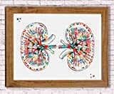 Human Kidneys Anatomy Watercolor Poster Art Print Urinary Tract System Office Decor Medical Decor Urology Art