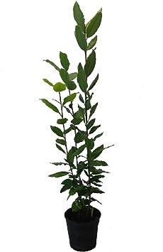 Laurel Comestible - Maceta 14cm. - Altura total aprox. 40cm ...