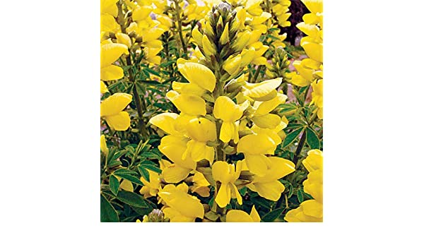 Amazon Com Plant World Seeds Thermopsis Chinensis Seeds Garden