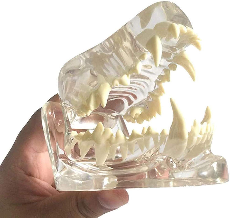 HOMEDAI Los Dientes del Modelo de Perro Transparente, una mandíbula de la cráneo de la anatomía ósea del Animal de Mascota Modelo Oral, para una demostración del Instrumento de educación Veterinaria