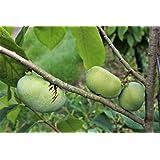 Pawpaw Prima - 2-jährige, veredelte Pflanze im 10lt-Topf