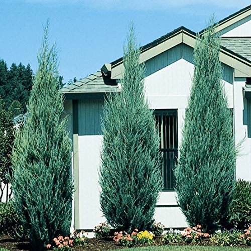 Skyrocket Juniper - 40 Live 2'' Pots - Juniperus Scopulorum - Upright Evergreen Trees by Florida Foliage (Image #3)