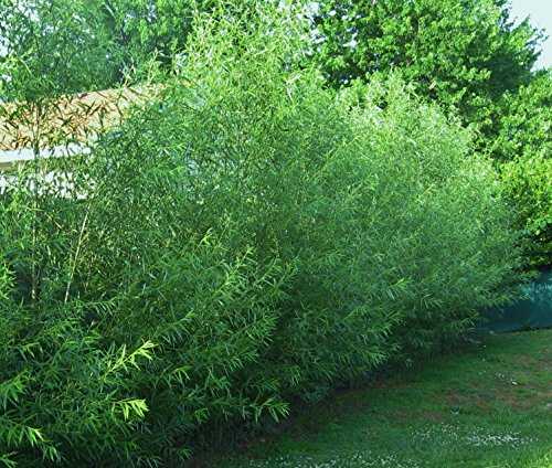 16-hybrid-willow-trees-austree-grows-12-foot-1st-season-create-instant-privacy-fence-hedge
