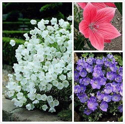 100 semillas de flores de Bell, multicolor, (Campanula) percisifolia mejores plantas para jardines a la inglesa dura perenne grandes para cortar: Amazon.es: Jardín