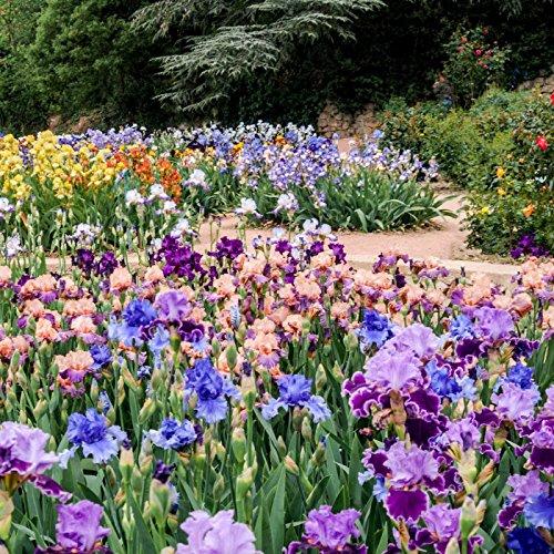 10 Pretty Bearded Iris, Reblooming German Iris, Color Mix, Fresh Root, Rhizome, Plant, Easy to Plant