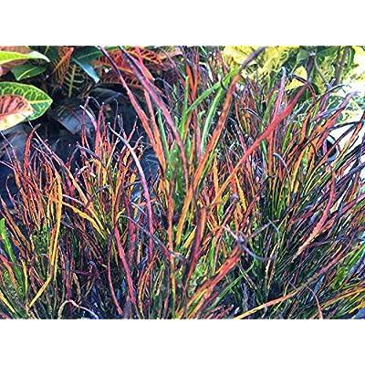 Croton codiaeum 'Picasso's Paintbrush : Garden & Outdoor