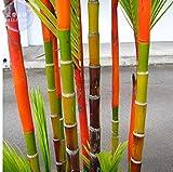 New Lipstick Palm Cyrtostachys Renda Tree, 10+ Seeds