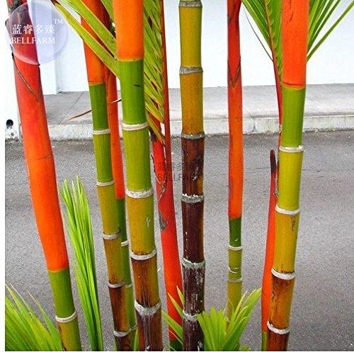 New Lipstick Palm Cyrtostachys Renda Tree, 10+ (Palm Tree Seedling)