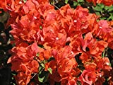 Bougainvillea 'Flame' Starter Plant