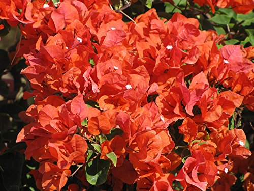 Bougainvillea 'Flame' Starter Plant by Eternal Cover