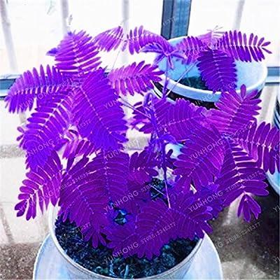 30 PCS Mimosa pudica Seeds Bonsai Plant Tree House Herb Garden Flower Pot Decor