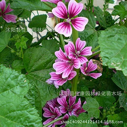 (Kucus - Flower Plant Sunflower Plant Money Collected Mallow Money Purple Sunflower Plant Jing Kui Kui Money Kuidong Fruit 200g / Pack)