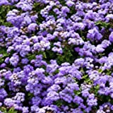 Outsidepride Ageratum Mexicanum Blue - 10000 Seeds